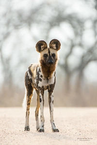Wild Dog, Kruger NP, SA, Sept 2015-6