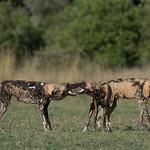 African Wild Dog, Khwai River Concession, Botwana, May 2017-5