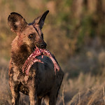 African Wild Dog, Savuti, Chobe NP, Botwana, May 2017-3