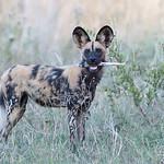 African Wild Dog, Khwai River Concession, Botwana, May 2017-15