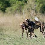 African Wild Dog, Khwai River Concession, Botwana, May 2017-7