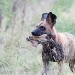 African Wild Dog, Khwai River Concession, Botwana, May 2017-23