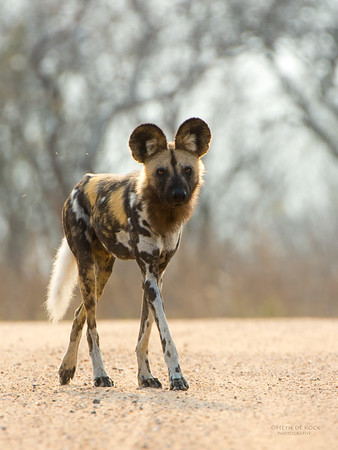 Wild Dog, Kruger NP, SA, Sept 2015-5