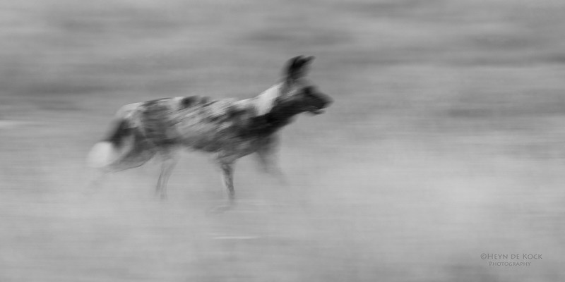 African Wild Dog, b&w, Khwai River Concession, Botwana, May 2017-20