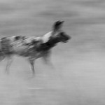 African Wild Dog, b&w, Khwai River Concession, Botwana, May 2017-20