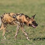 African Wild Dog, Khwai River Concession, Botwana, May 2017-10