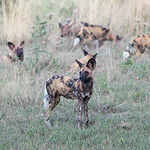 African Wild Dog, Khwai River Concession, Botwana, May 2017-4