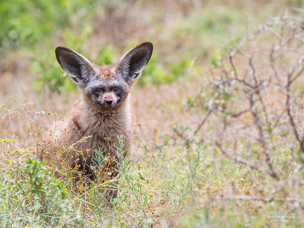 Bat-eared Fox, Addo Elephant NP, EC, SA, Dec 2013 copy