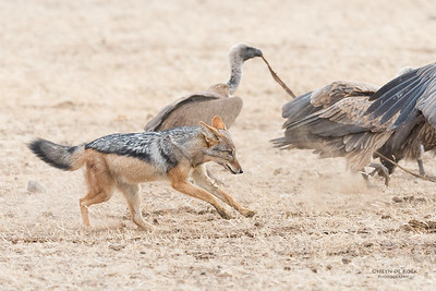 Black-backed Jackal & White-backed Vulture, Mashatu GR, Botswana, May 2017-4