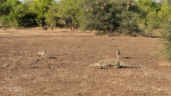 Black-backed Jackal & Nile Crocodile, Mashatu GR, Botwana, May 2017-5
