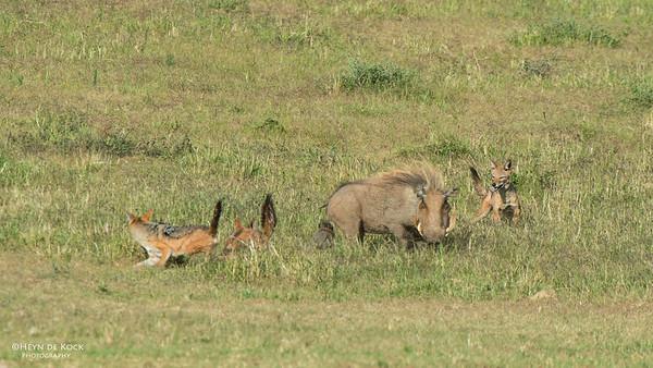 Warthog & Jackal saga, Addo Elephant NP, EC, SA, Dec 2013-3