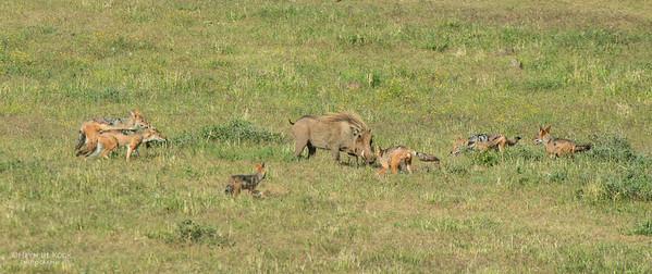 Warthog & Jackal saga, Addo Elephant NP, EC, SA, Dec 2013-7