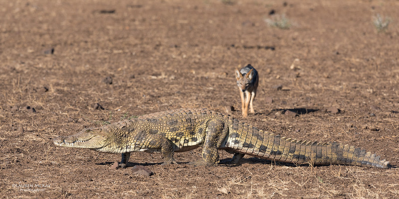 Black-backed Jackal & Nile Crocodile, Mashatu GR, Botwana, May 2017-7