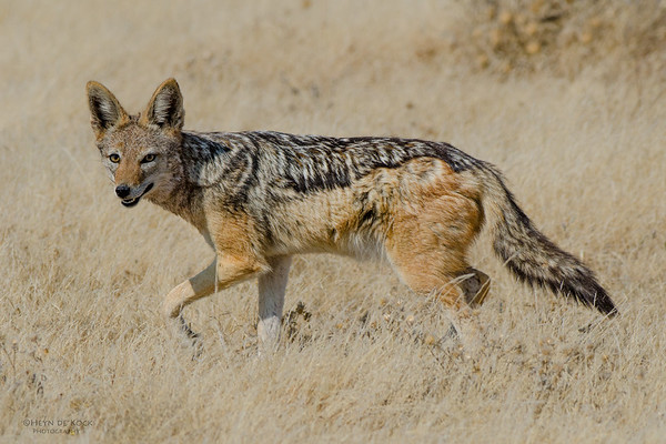 Black-backed Jackal, Etosha NP, Namibia, July 2011