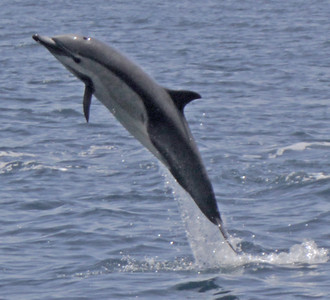 Common Dolphin  2009 07 10.jpg