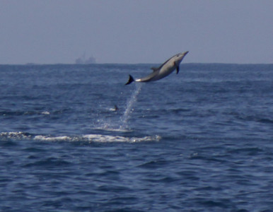 Common Dolphin  2009 07 10-2.jpg