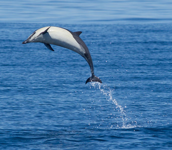 Common Dolphin San Diego Waters 2014 05 02-2.CR2