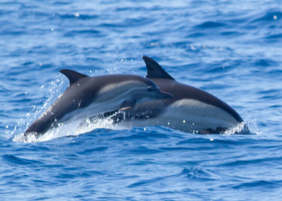 Long-beaked Common Dolphin  San Diego waters  2013 08 28 (1 of 1).CR2