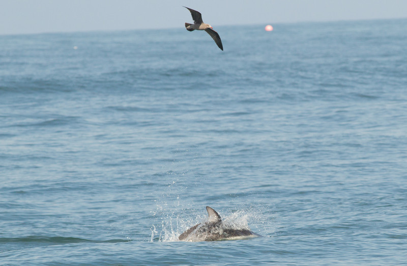 Pacific White-sided  Dolphin San Diego Waters -1.CR2