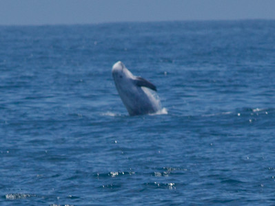 Risso`s Dolphin    Orange County waters 2012 07 21 (2 of 4).CR2