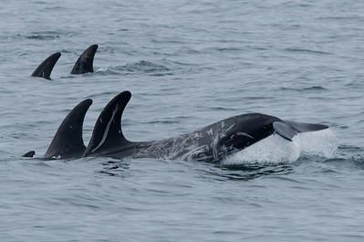 Risso`s Dolphin    Monterey 2011 09 22-2.CR2