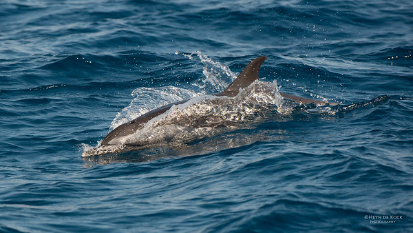 Spotted Pantropical Dolphin, Wollongong Pelagic, NSW, Oct 2013-1