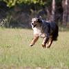 Austrailian Shepherd Blue Merle_SS1570