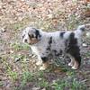 Austrailian Shepherd Blue Merle_SS3604