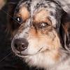 Austrailian Shepherd Blue Merle_SS7785