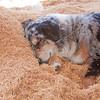 Austrailian Shepherd Blue Merle_SS7201