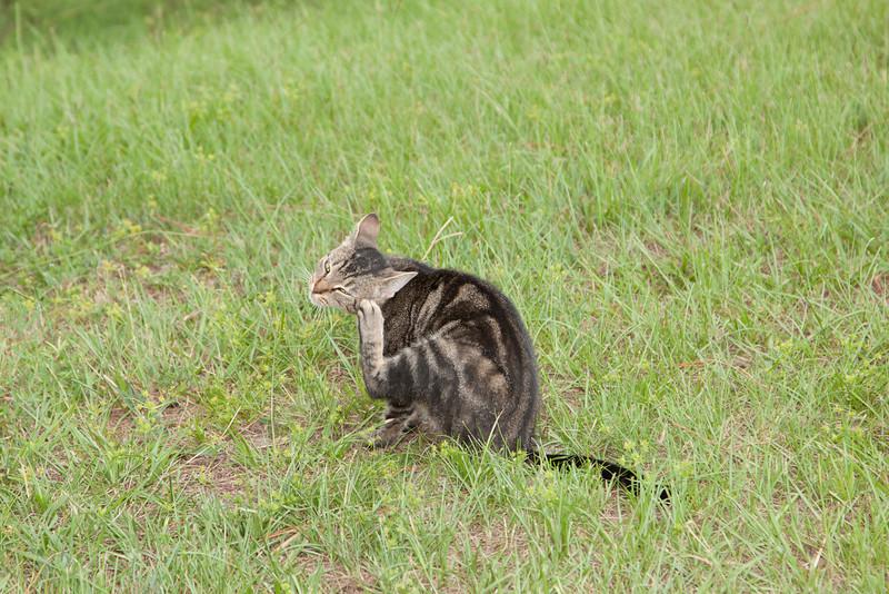 Tabby Cat_SS4824