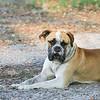 American Bull Dog_SS9911