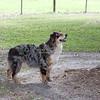Austrailian Shepherd Blue Merle_SS8606