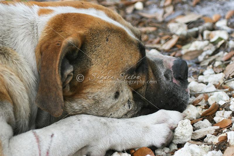 American Bull Dog_SS9552