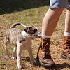 American Bulldog Puppy_SS9278