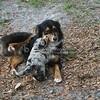 Austrailian Shepherds_SS3590