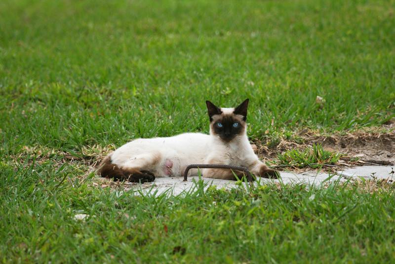 Siamese Cat_SS0101