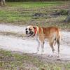 American Bull Dog_SS5312