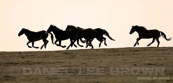 Horses on the run. 5 horses and only 2 hooves touching the ground. 1-4-09.