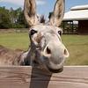 Donkey_SS095132