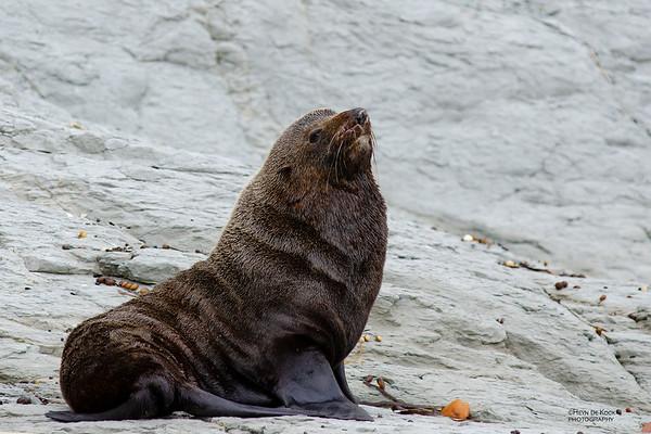 New Zealand Fur Seal, Kaikoura, SI, NZ, Jan 2013