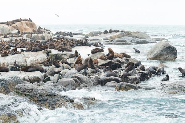 Cape Fur Seal, Houtbay, WC, SA, Dec 2013