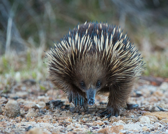 Echidna, Barren Grounds, NSW, Aus, May 2013