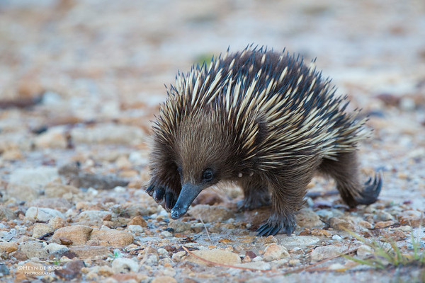 Echidna, Barren Grounds, NSW, Aus, May 2013-1