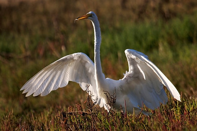 Great Egret landed with very small fish