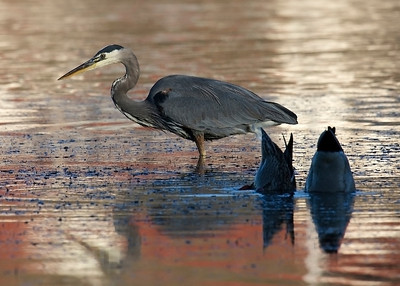Great Blue Heron and Mallards, Rodeo Lagoon, Marin Headlands