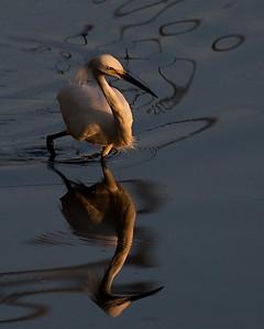Snowy Egret, first light