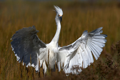 The Mighty Snowy Egret