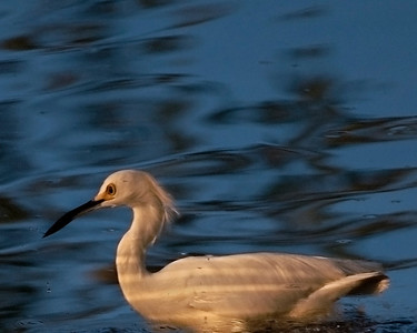 Reflection, Snowy Egret