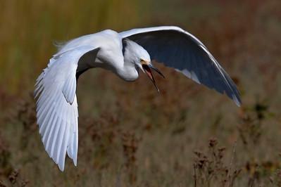 Snowy Egret in territorial pursuit